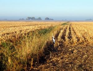 Sandhill Crane in a corn field on Staten Island. Photo by Deanna Lynn Wulff